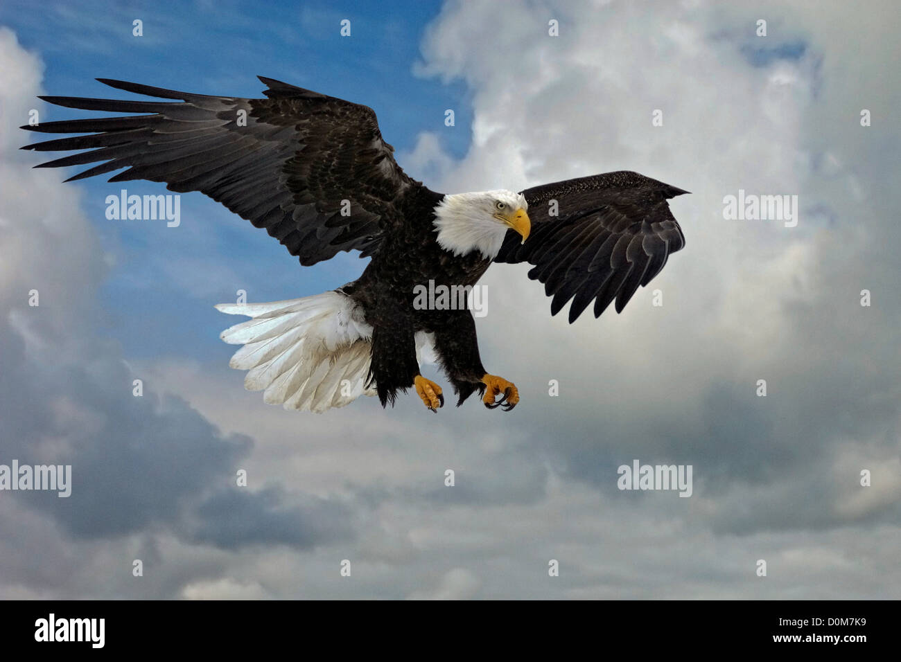 With outstretched wings and talons during flight, a Bald Eagle prepares to swoop down on prey. - Stock Image