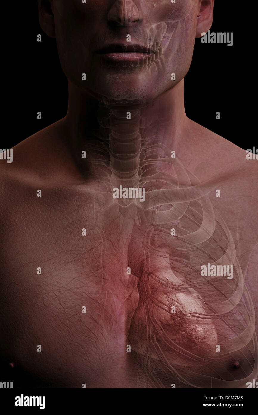 Front view of the heart enclosed by the ribcage. - Stock Image
