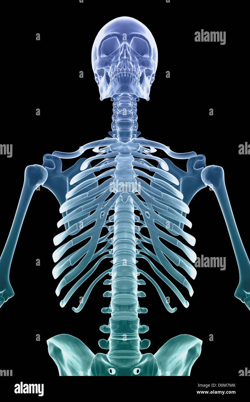 Front View Of Stylized Bones Of The Upper Body And Torso Stock Photo