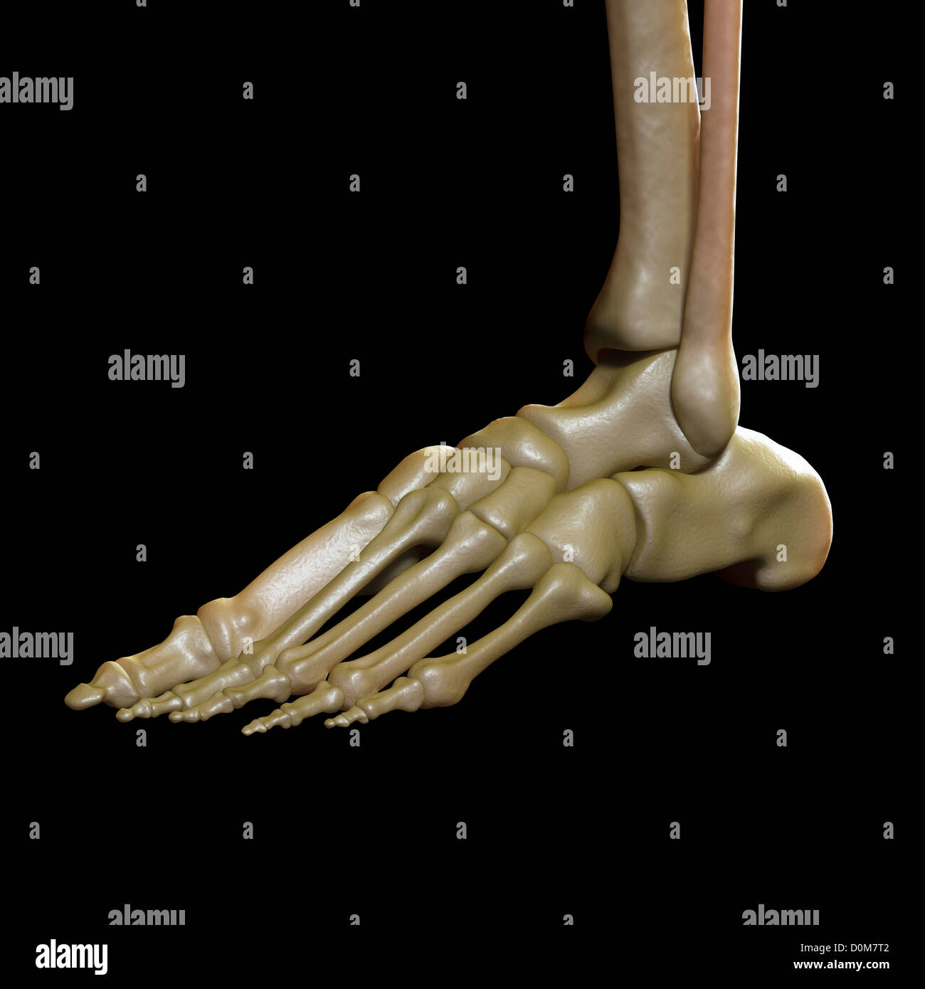 Three-quarter view of the bones of the left foot and ankle joint. - Stock Image