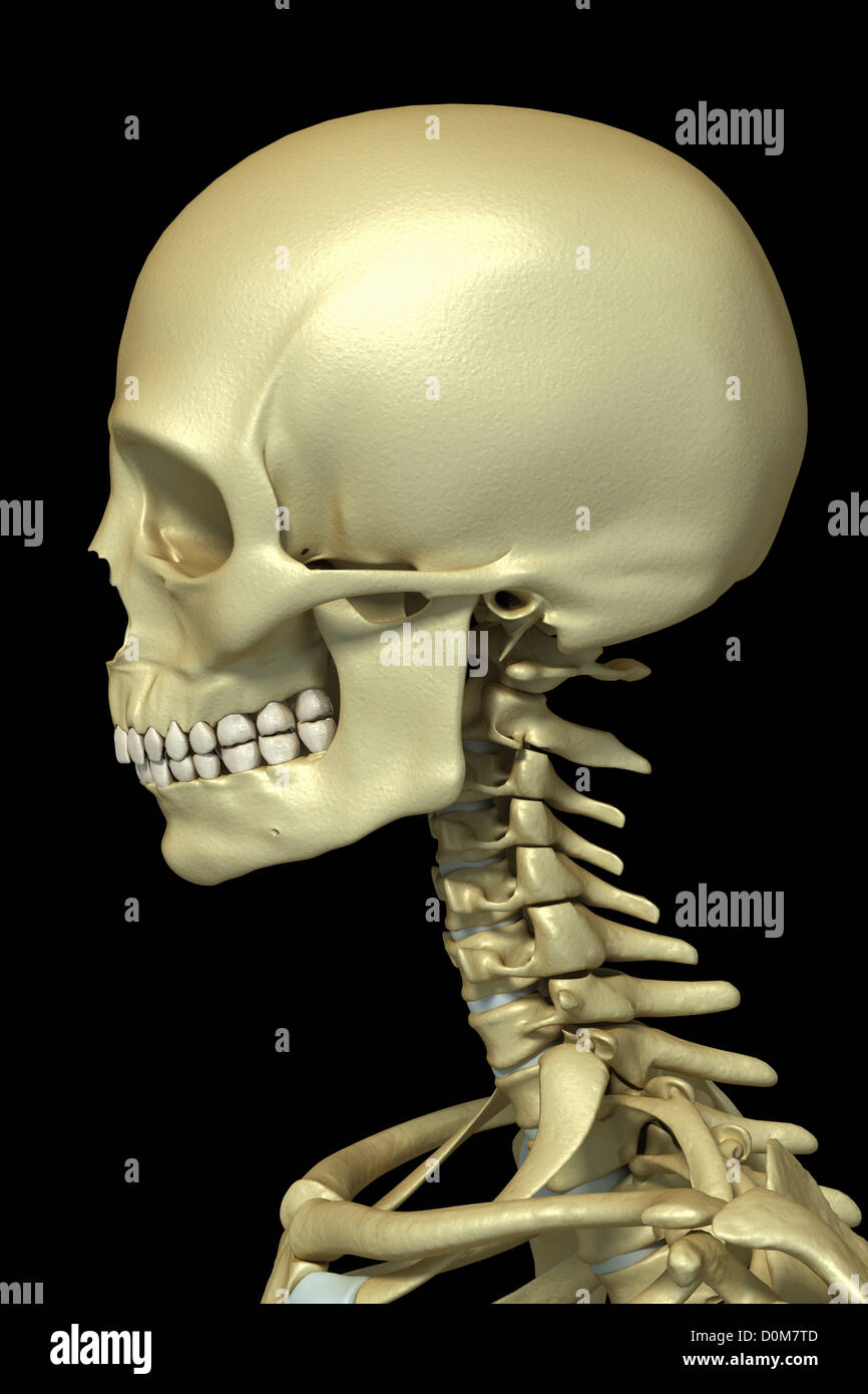 Close Up View Of The Bones Of The Cervical Region Of The Spine And