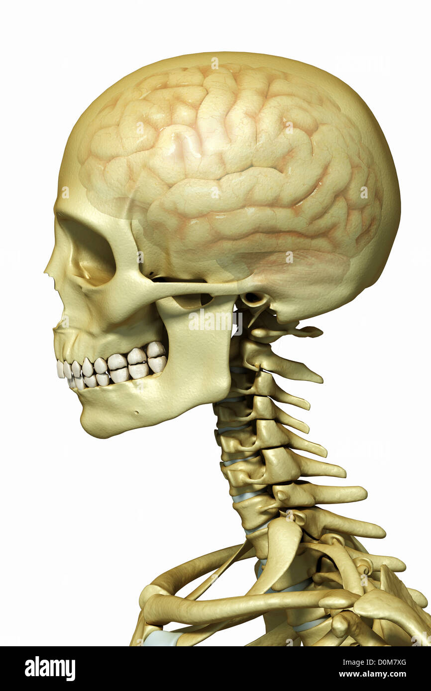 Side View Of The Bones Of The Head And Neck Showing The Brain Within