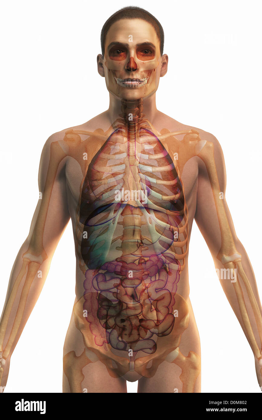Upper Organs Of The Digestive Stock Photos Upper Organs Of The