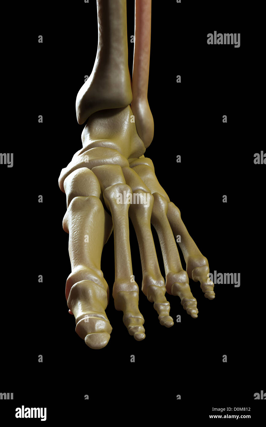 Close-up view of the bones of the left foot and ankle joint. - Stock Image
