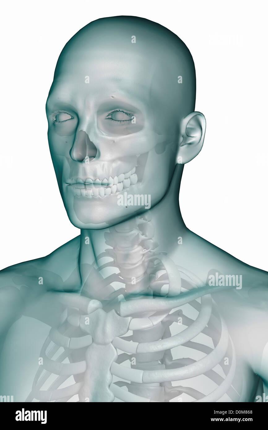 Three Quarter View Anatomy Face Neck Stock Photos & Three Quarter ...