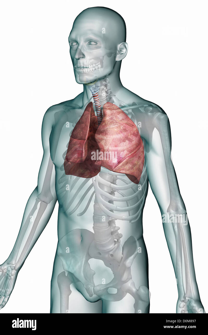 Upper Respiratory System Stock Photos & Upper Respiratory System ...