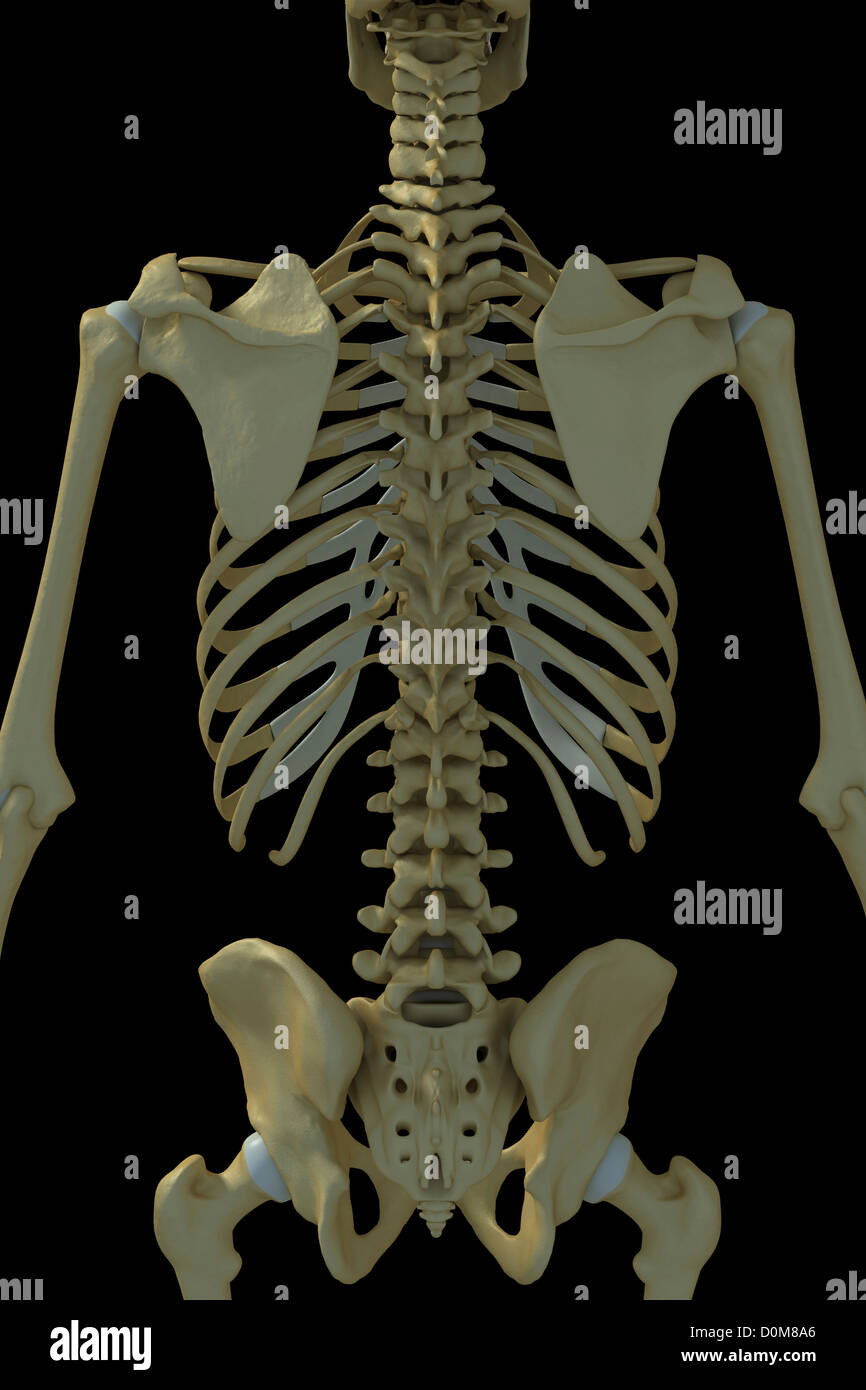 Rear View Of The Bones Of The Torso Stock Photo 52076702 Alamy