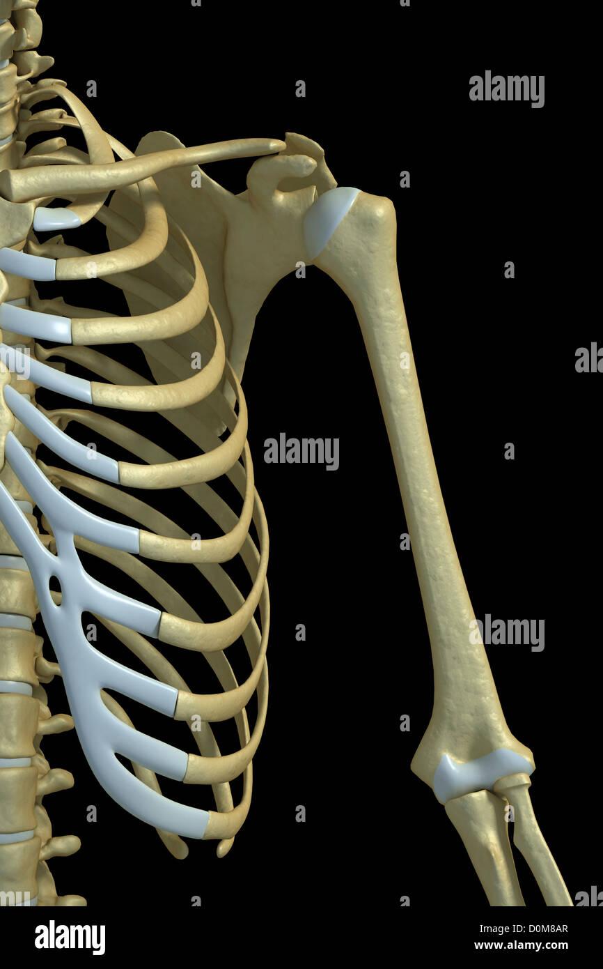 Bones Shoulder Upper Arm Stock Photos Bones Shoulder Upper Arm
