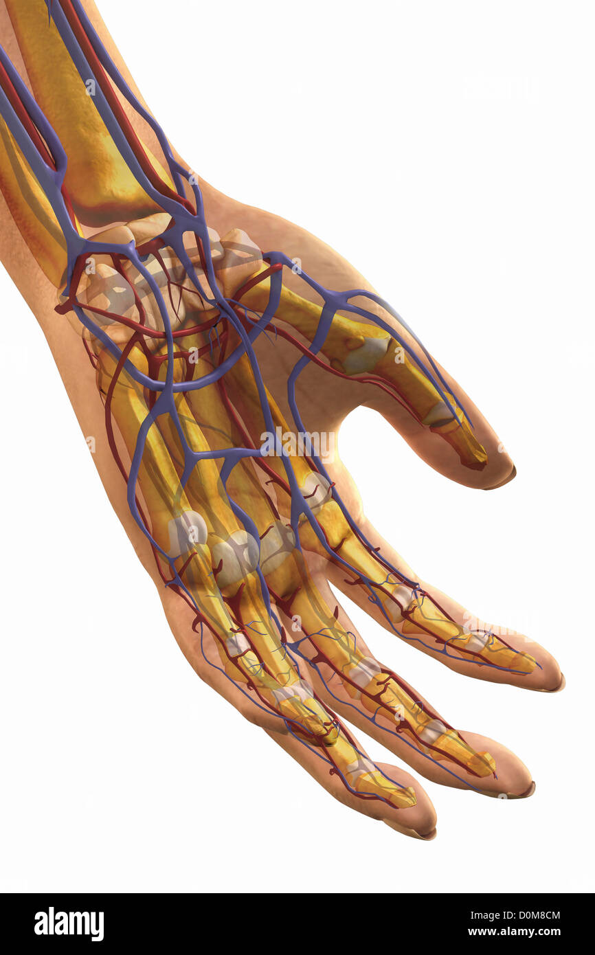 Close-up of the left hand and major blood vessels. - Stock Image