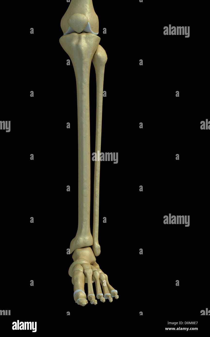Front view of the bones of the left lower leg. - Stock Image