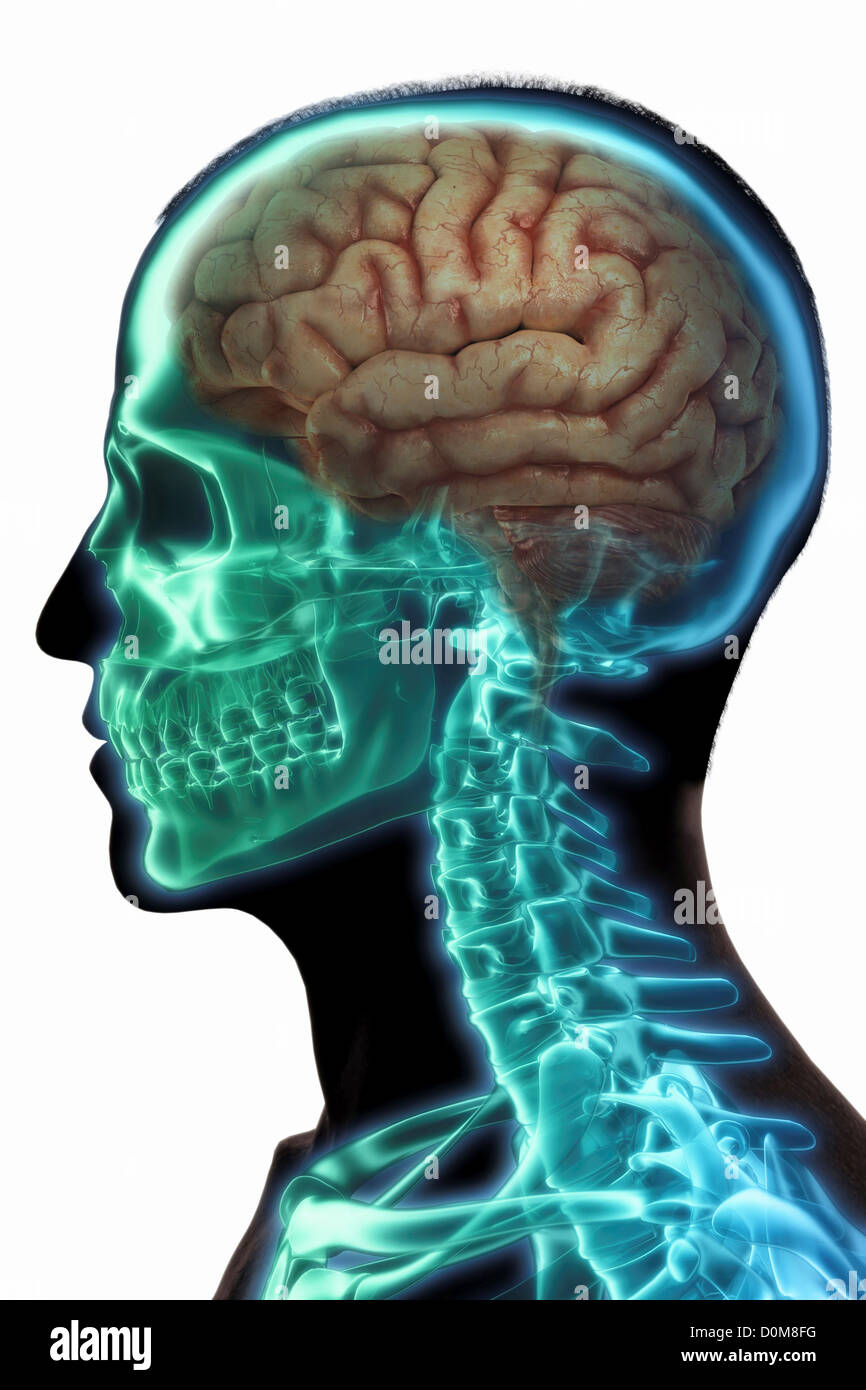 Silhouette of male head with brain and skeleton visible. - Stock Image