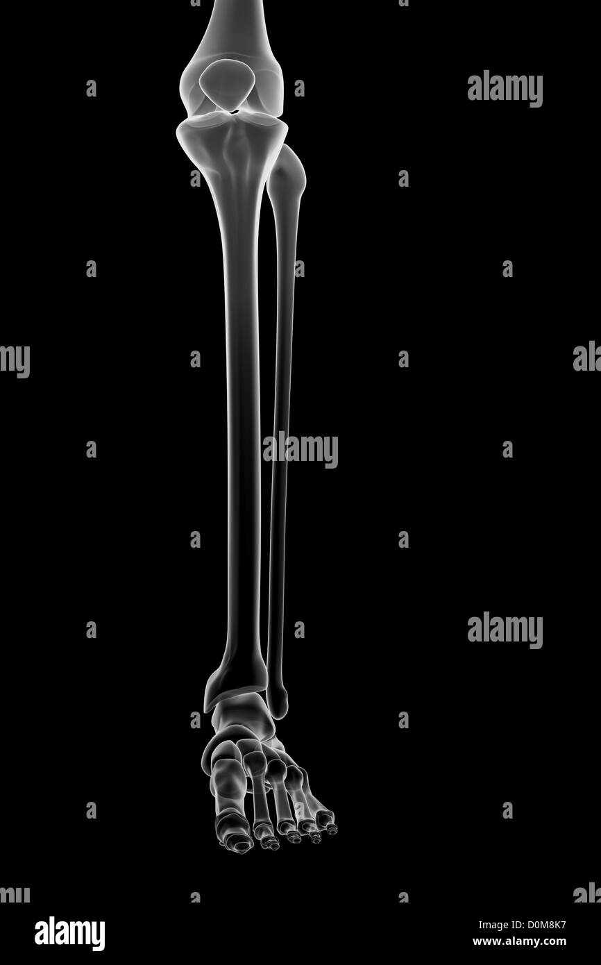 Stylized bones of the lower left leg, ankle joint and foot. - Stock Image