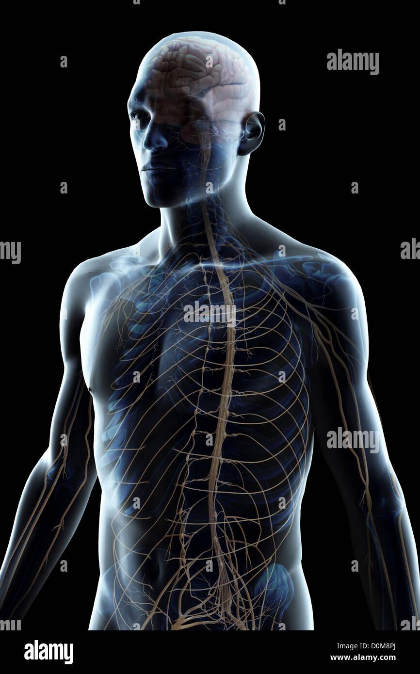 Brain Nerves Upper Body Stock Photos Brain Nerves Upper Body Stock