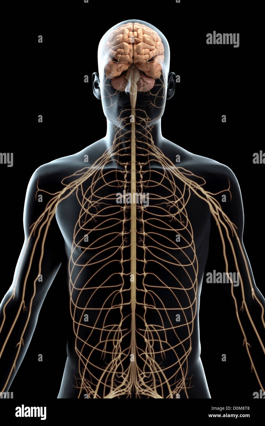Stylized Front View Of The Nerves Of The Upper Body Stock Photo
