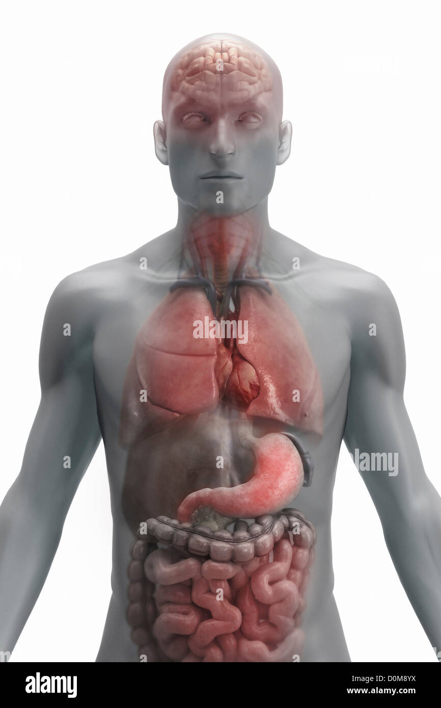 Front View Male Figure Organs Stock Photos Front View Male Figure