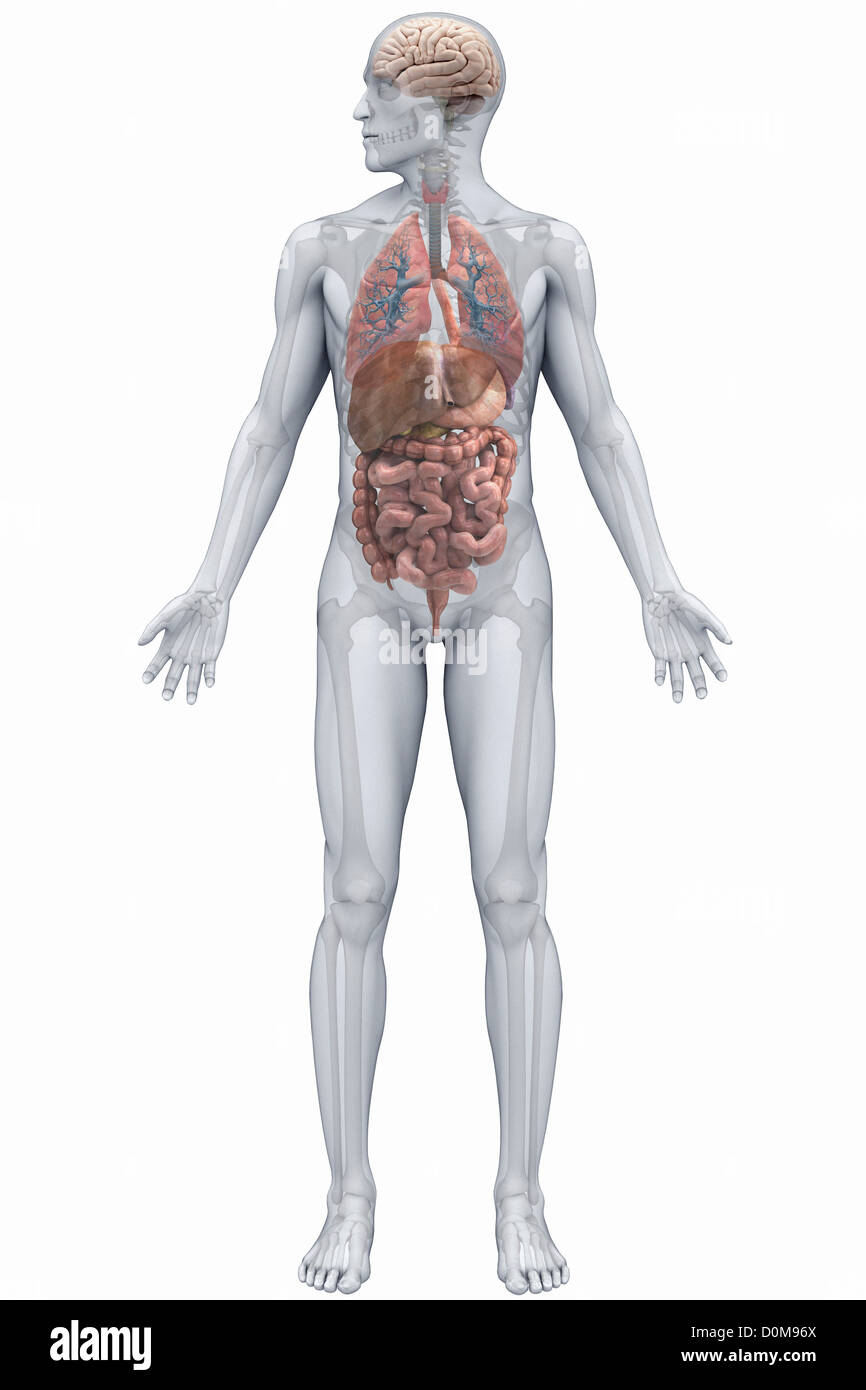 Human organs (male) viewed from the front. The digestive system ...