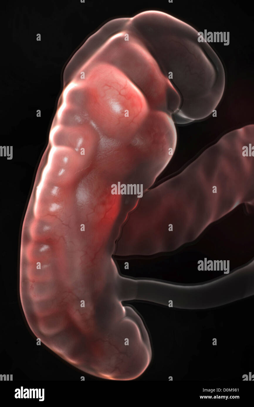 Fetus in utero (fetal development approx. week 3) - Stock Image