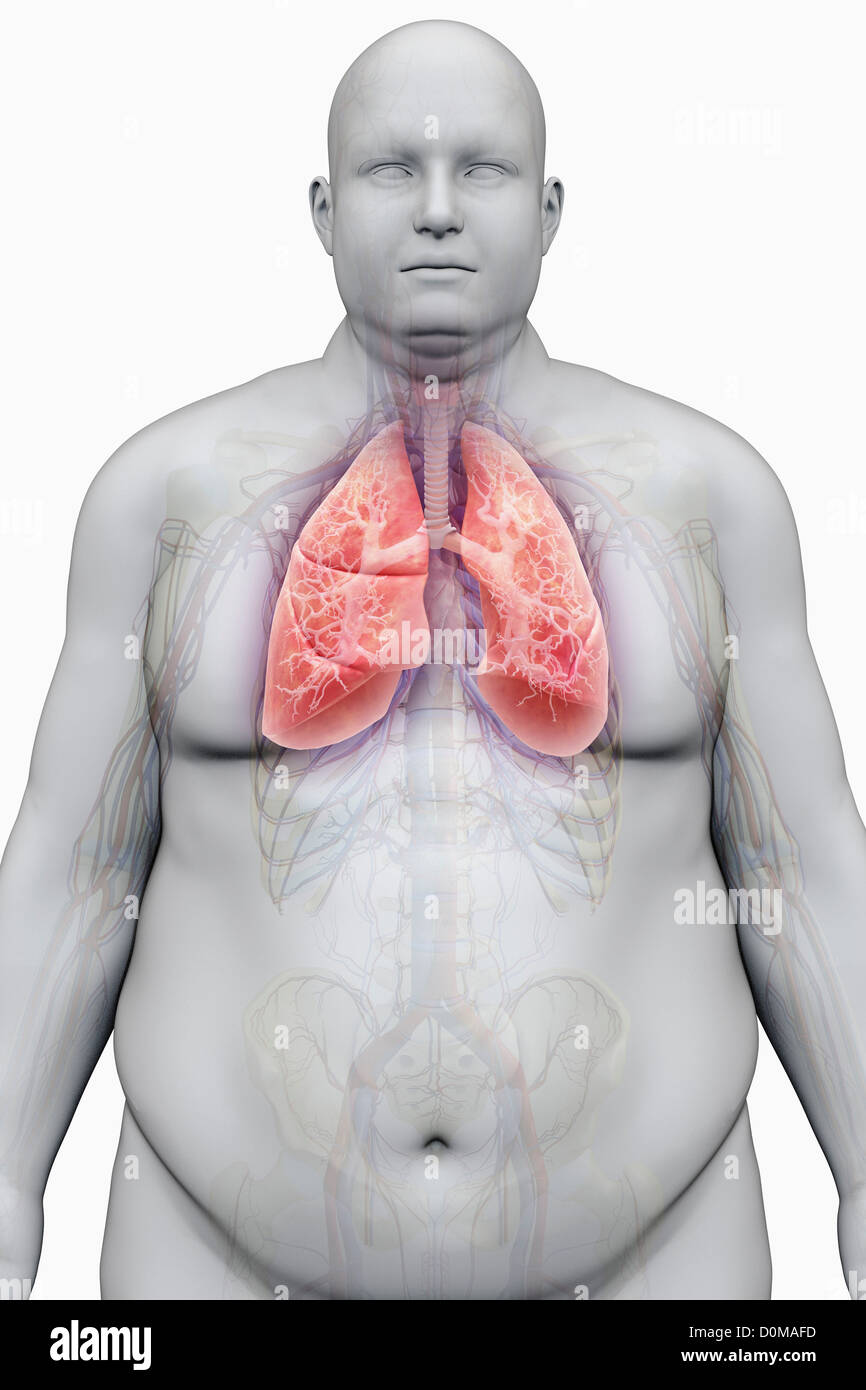 Human lungs layered over an overweight man\'s body to show the Stock ...