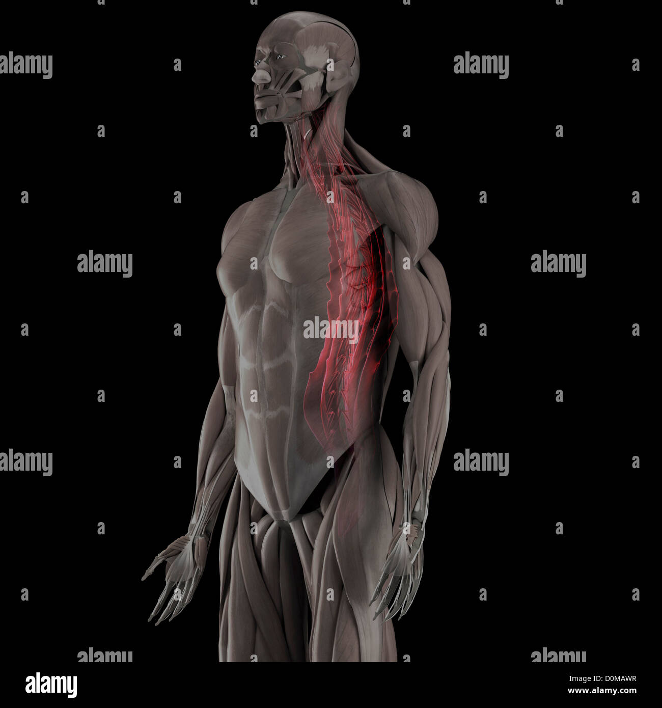 Anatomical Model Showing The Human Muscular System And Stock Photo