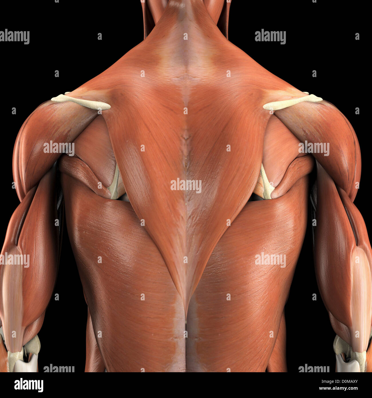 Anatomical model showing the trapezius and latissimus dorsi muscles ...