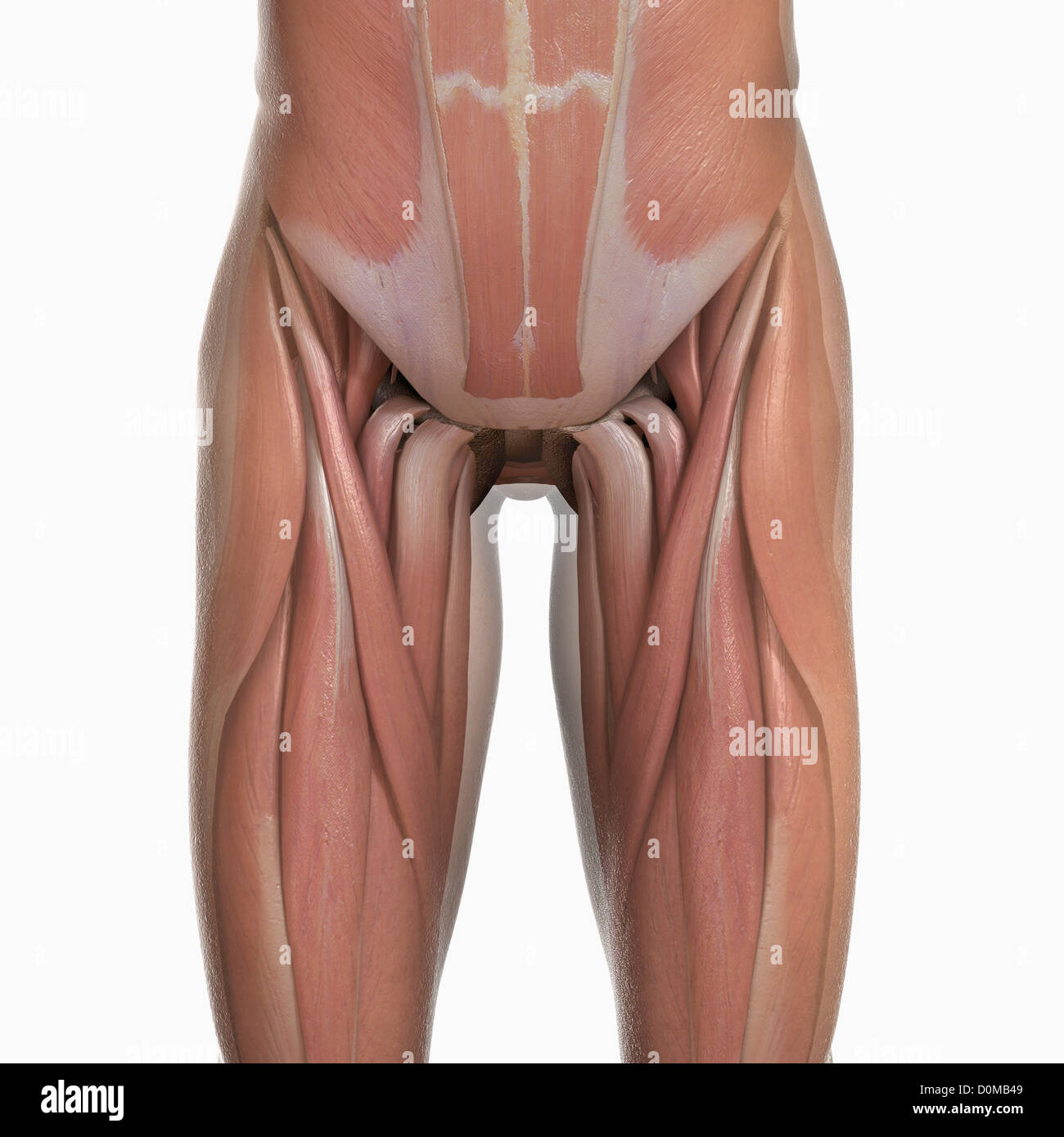 Anatomical model showing the human pelvis muscles Stock Photo ...