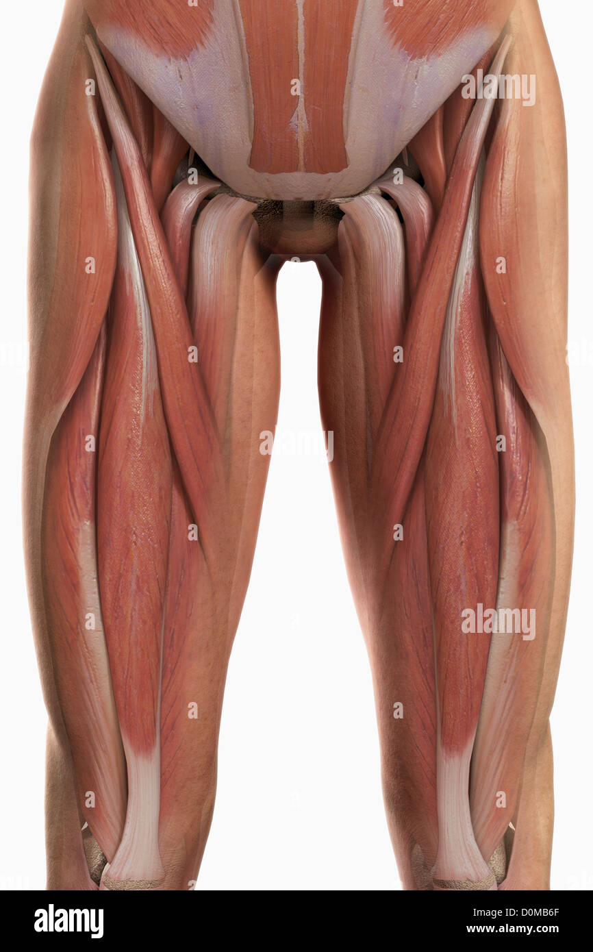 Anatomical Model Showing The Biceps Femoris Muscles Stock Photo