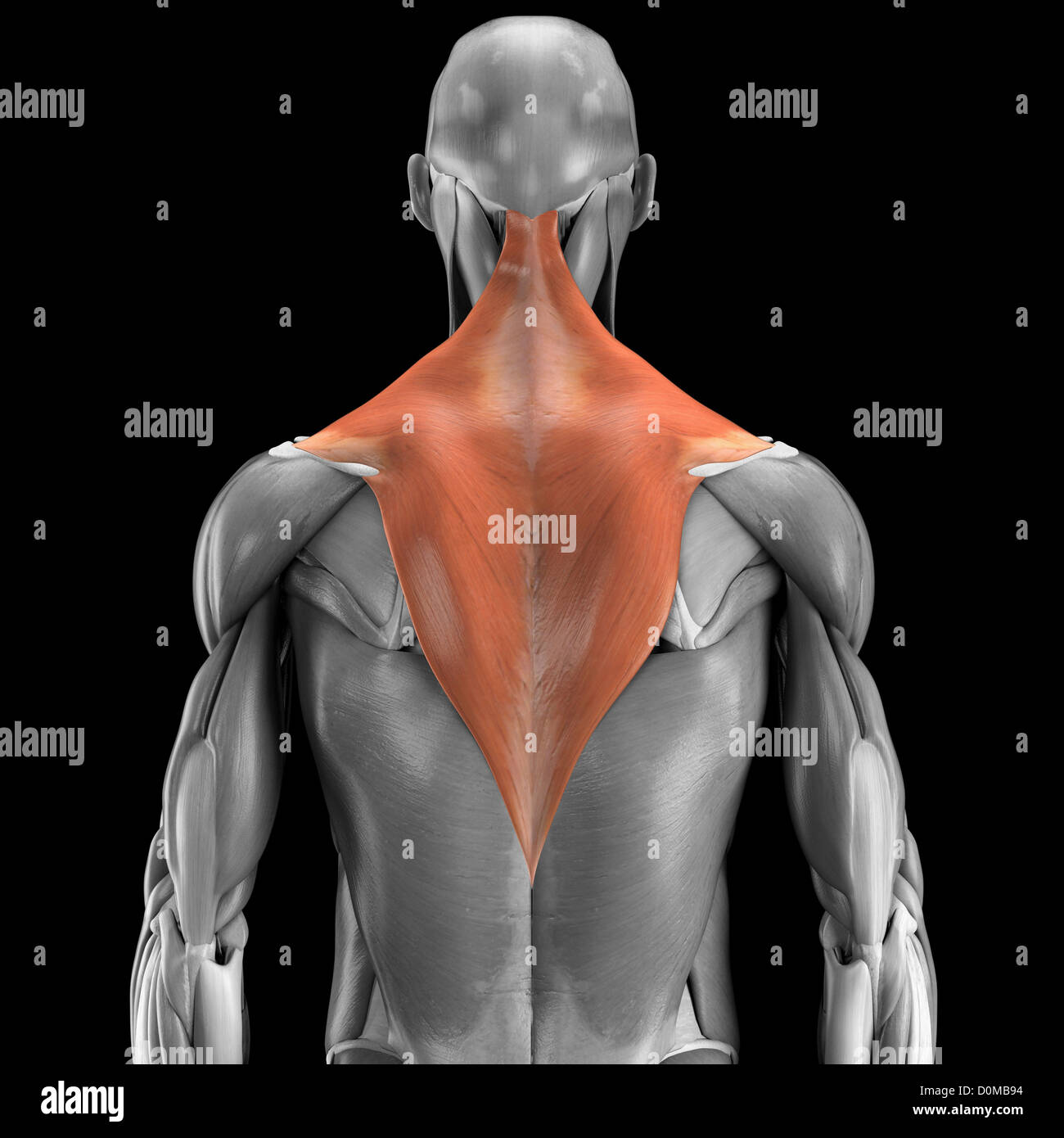 Anatomical model showing the trapezius muscles Stock Photo: 52079024 ...