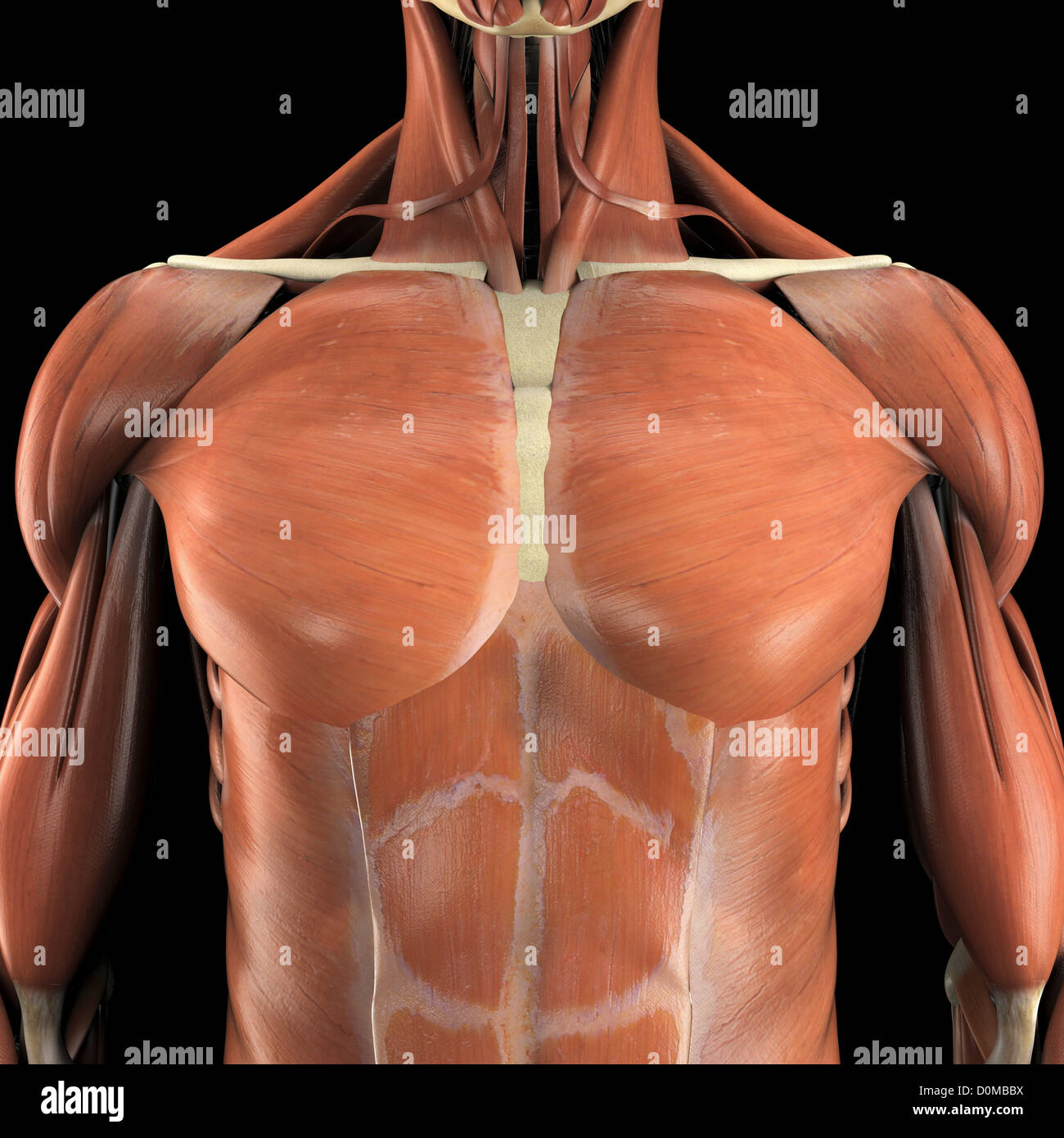 Anatomical model showing the pectoralis major and abdominal muscles ...