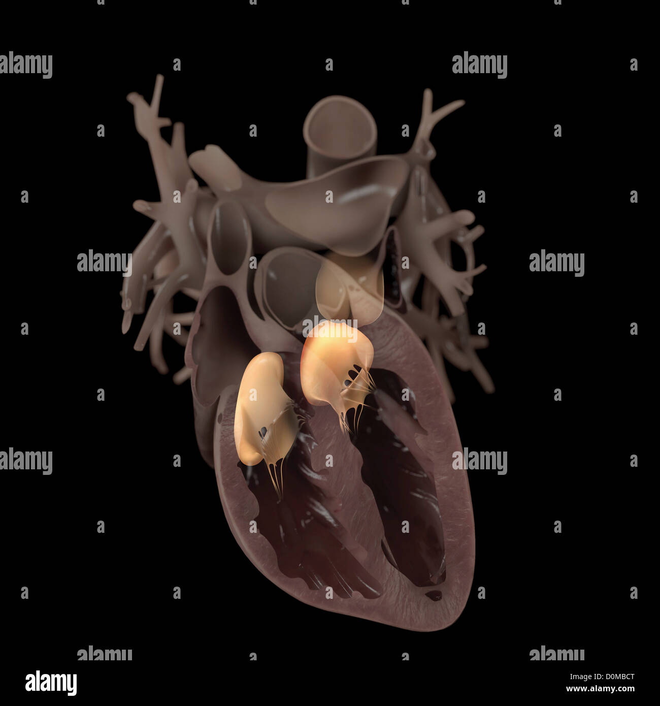 Diagram of a heart, showing an anterior cut. The valves are highlighted also. - Stock Image