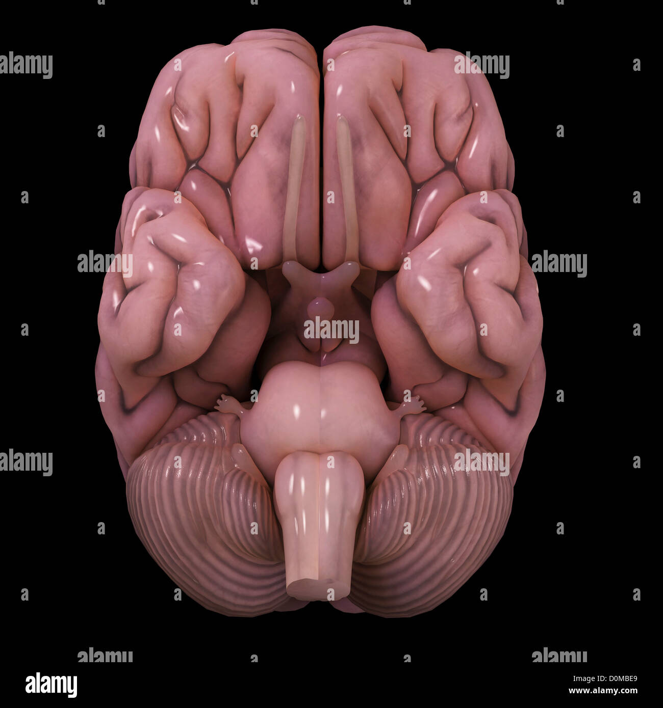A stylized model of a human brain, showing the brain stem. - Stock Image