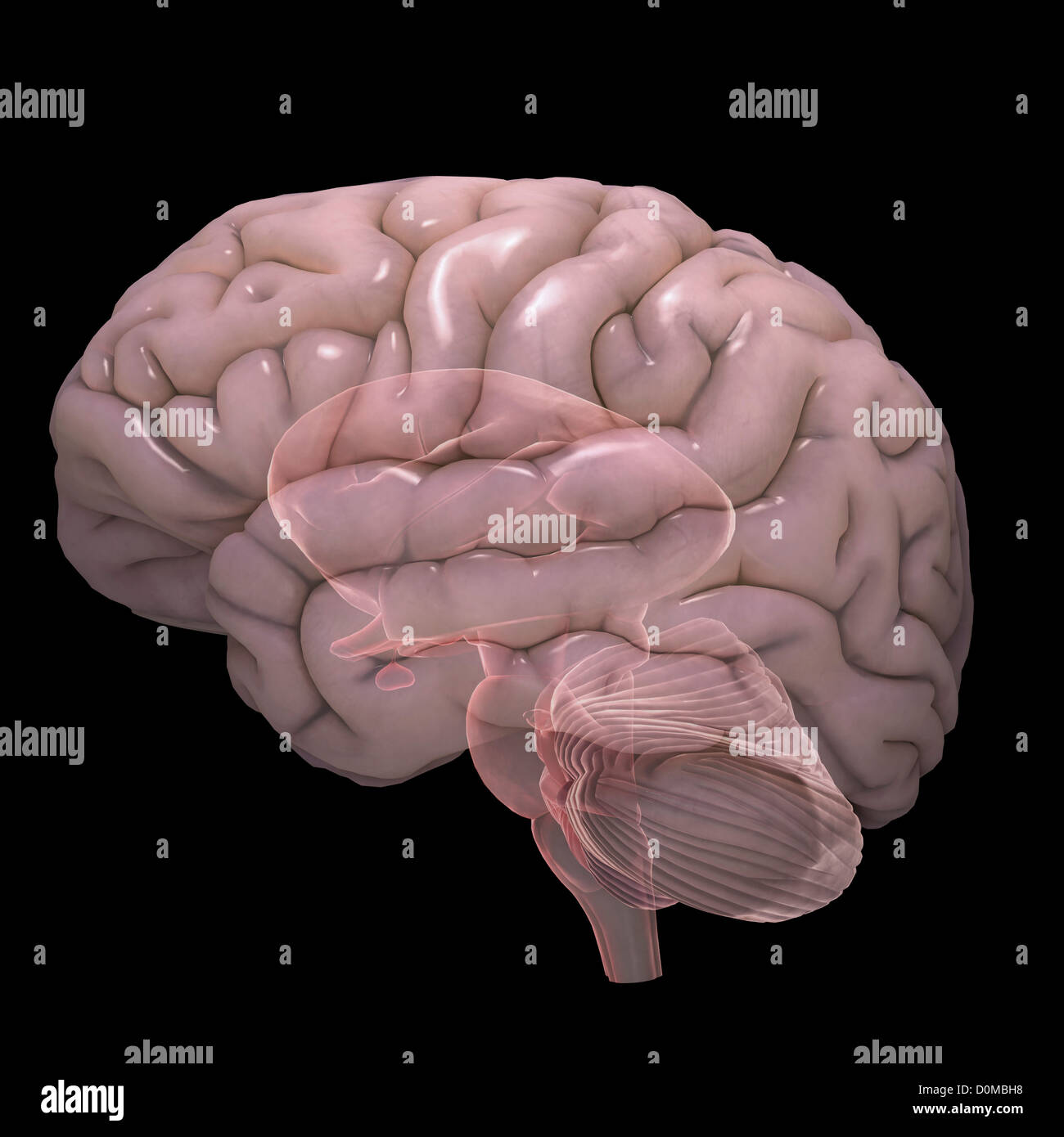 A stylized diagram of a human brain. - Stock Image