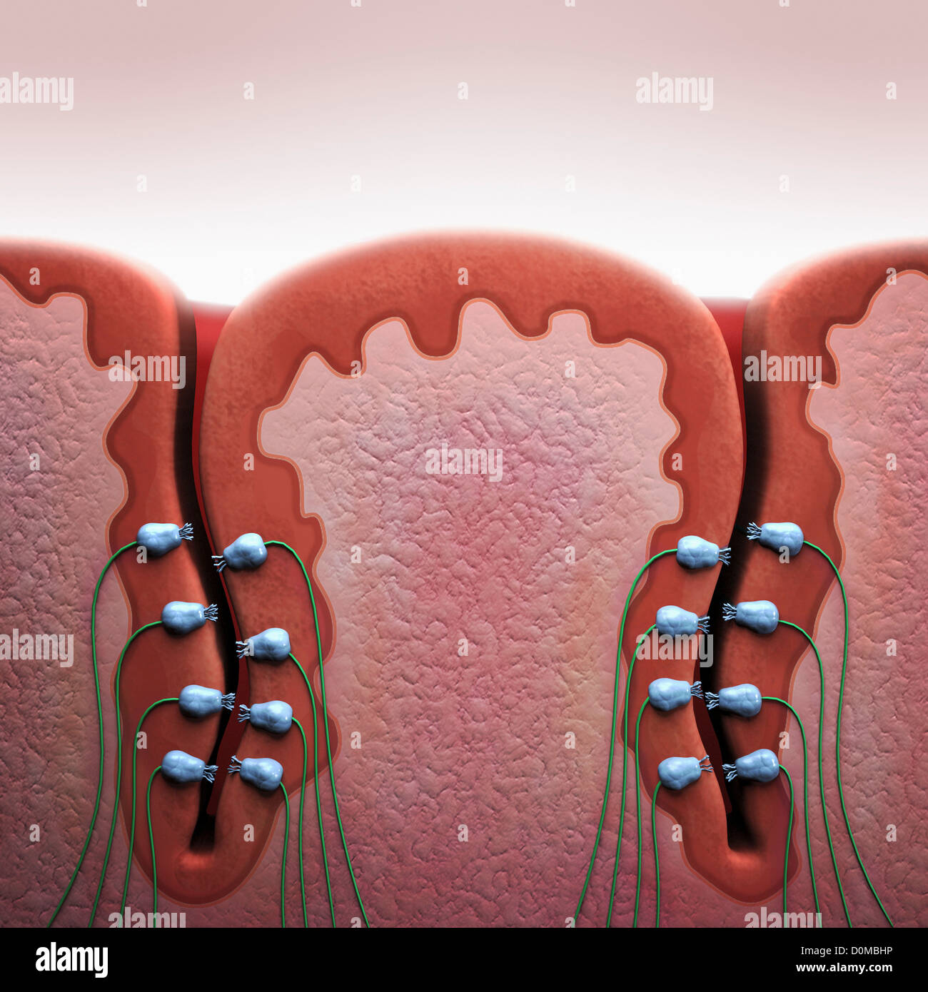 A Cross Section Diagram Of A Taste Bud On A Human Tongue Stock Photo