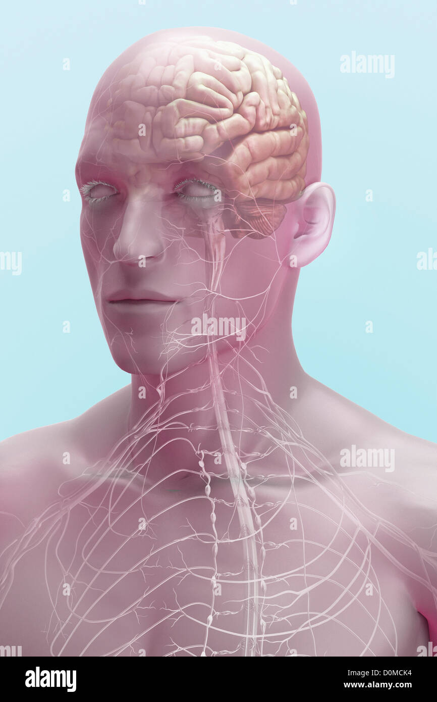A Human Model Showing Nerves In The Head And Neck Stock Photo