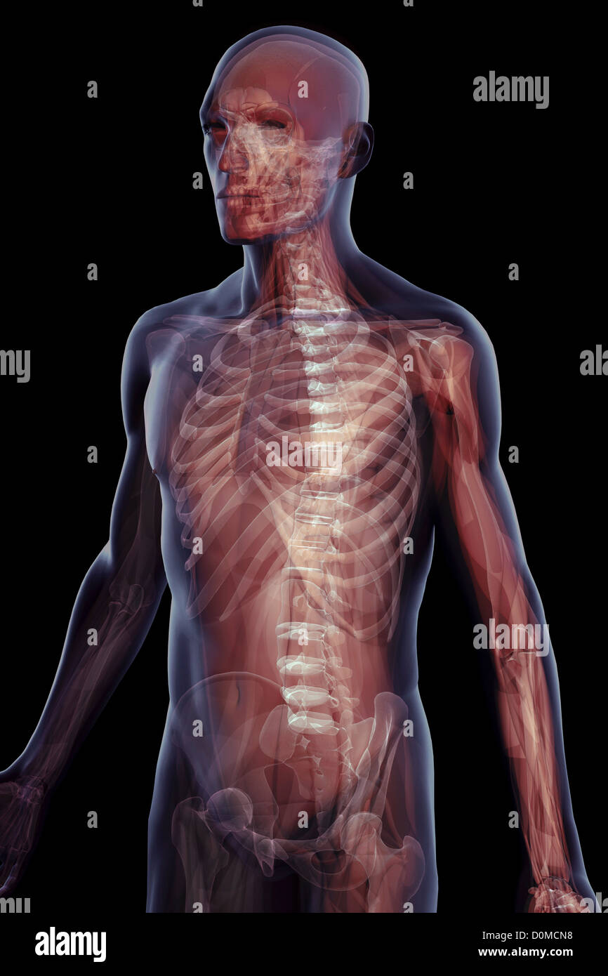 Layered images showing the complex skeletal structure of a human. - Stock Image