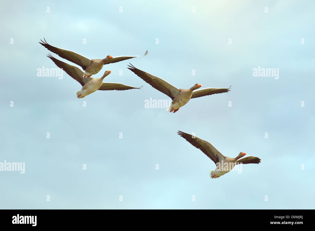 Four gray geese in flight - Stock Image