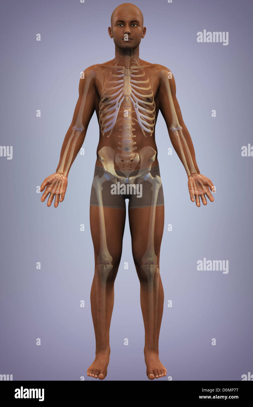 Anatomical Model African Ethnicity Showing Stock Photos & Anatomical ...