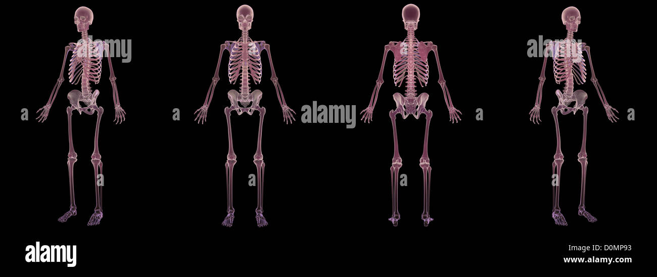 Anatomical Models Showing Human Skeletal Structure Stock Photo