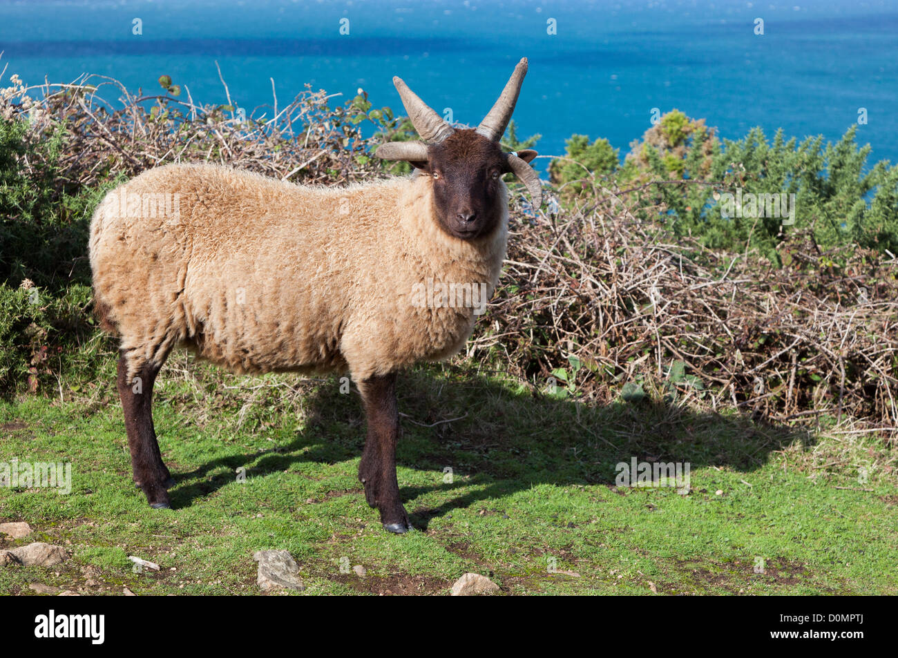 Manx Loaghtan sheep, Jersey, Channel Islands, UK - Stock Image