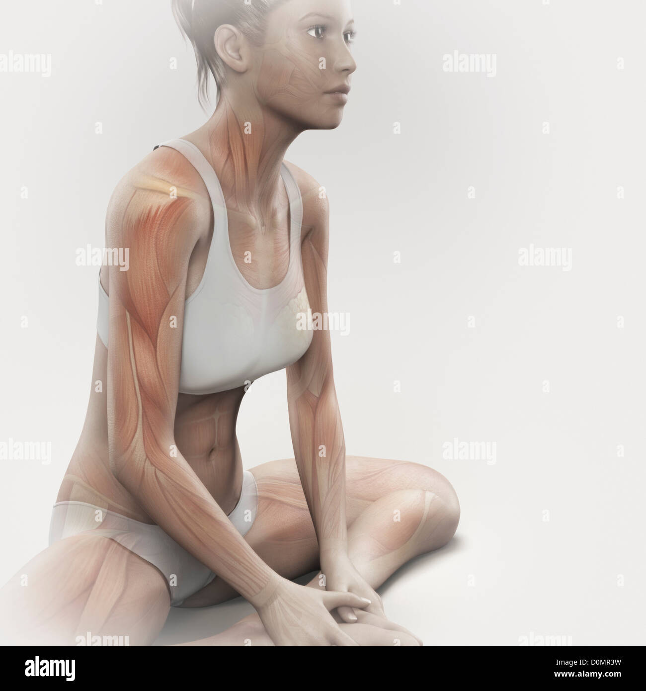 Musculature layered over female body in bound angle pose showing activity certain muscle groups in this particular - Stock Image