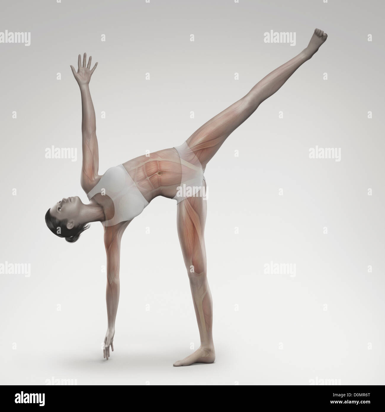 Musculature layered over female body in half moon pose showing activity certain muscle groups in this particular Stock Photo