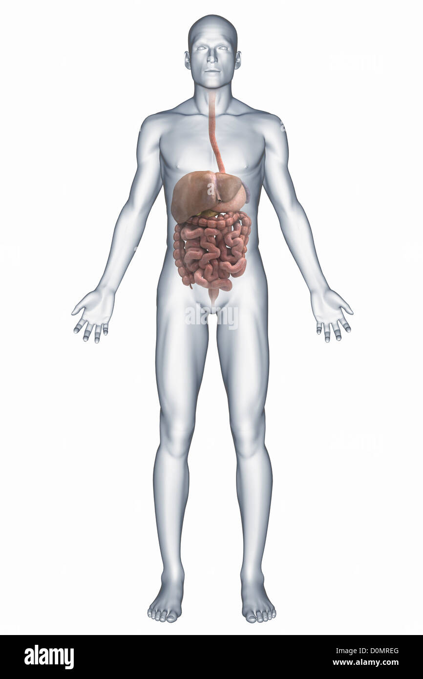 A Representation Of The Human Digestive System Including The Liver