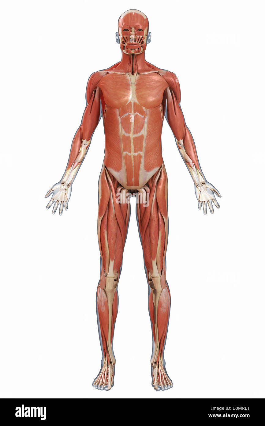 Human Muscular System Cut Out Stock Images Pictures Alamy
