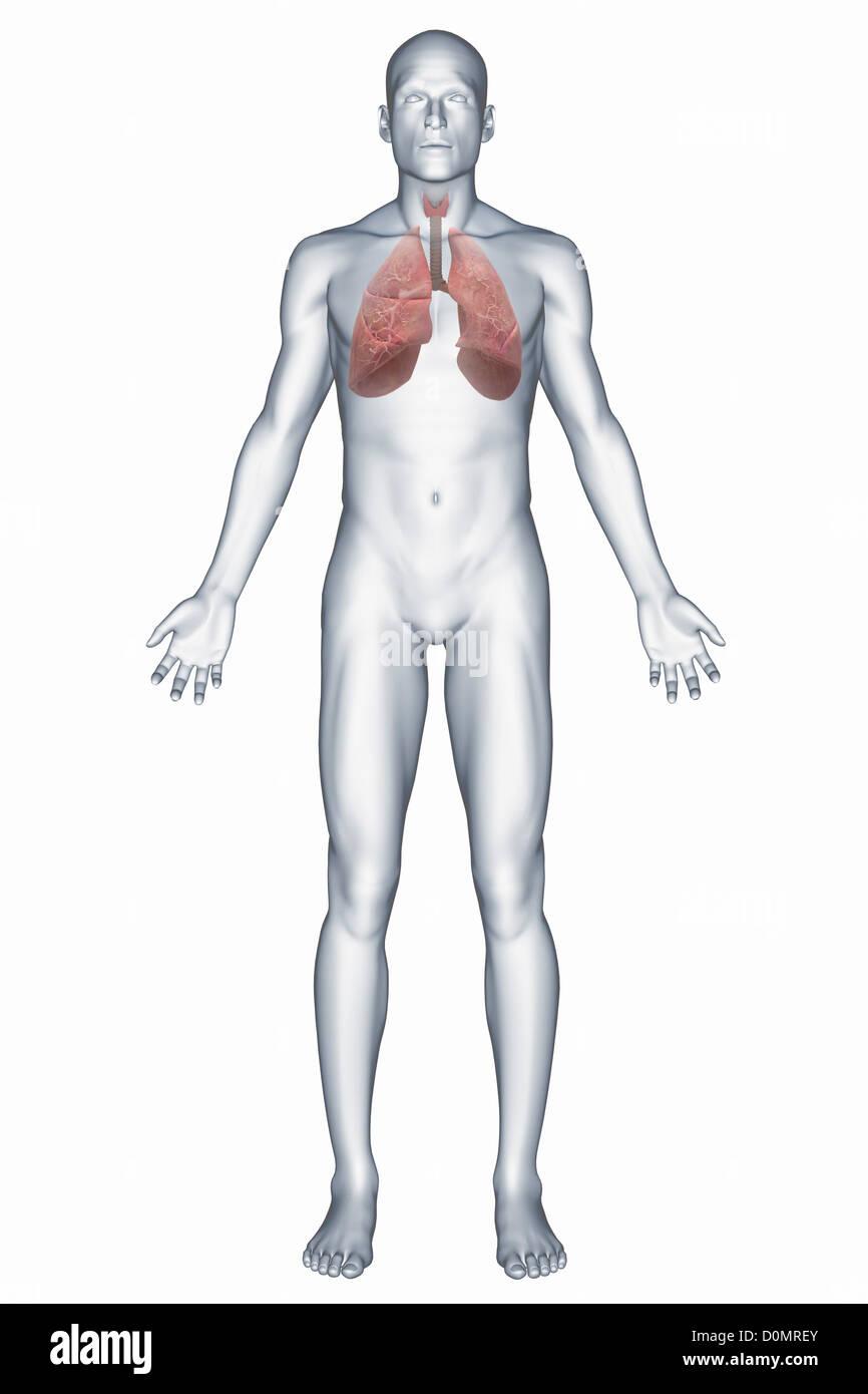 Human Respiratory System Stock Photos Human Respiratory System