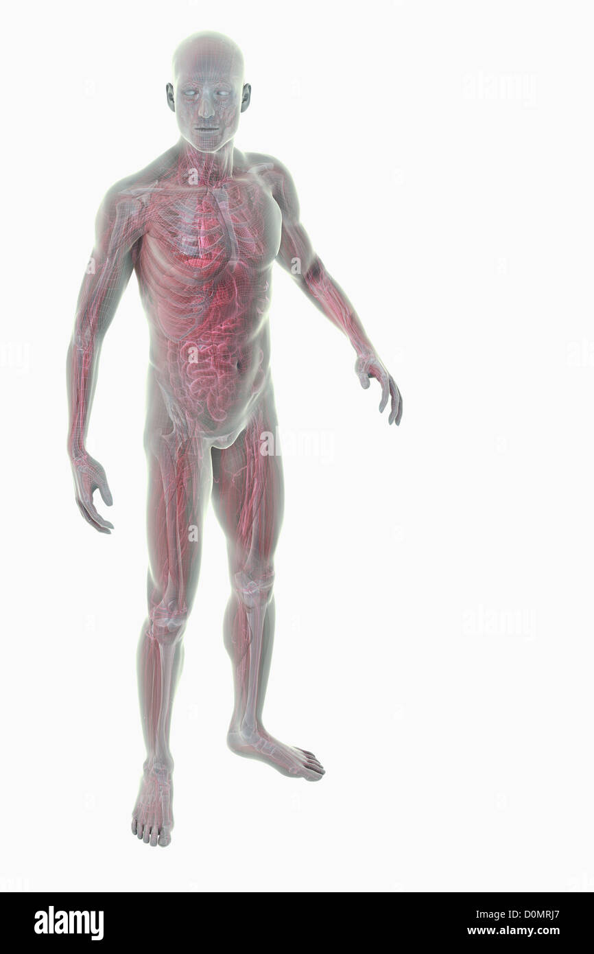 Model Showing The Anatomy Of The Entire Human Body Stock Photo