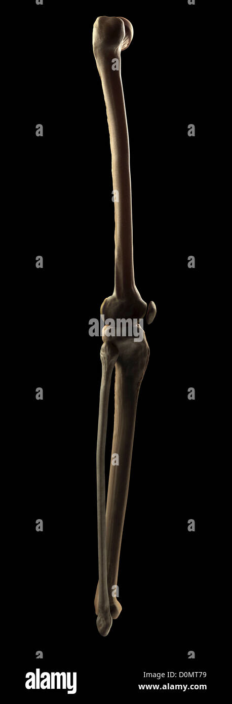 Bones And Joint That Form The Skeletal Structure Of The Human Leg