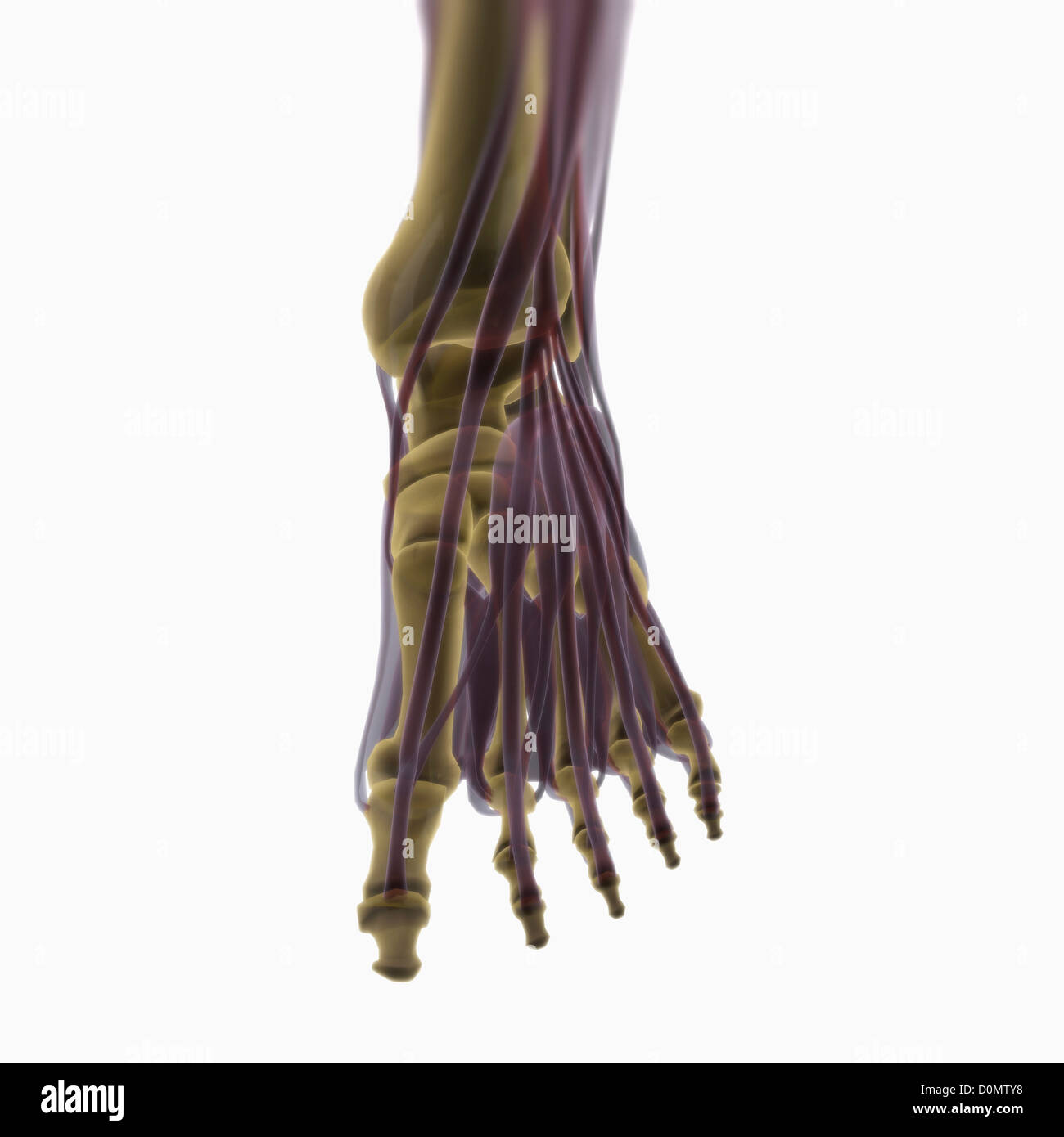 Anatomical model showing the muscles of the left foot. - Stock Image