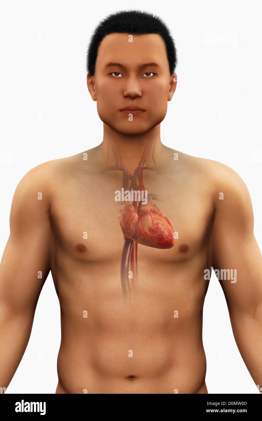 Model Human Torso Organs Stock Photos Model Human Torso Organs