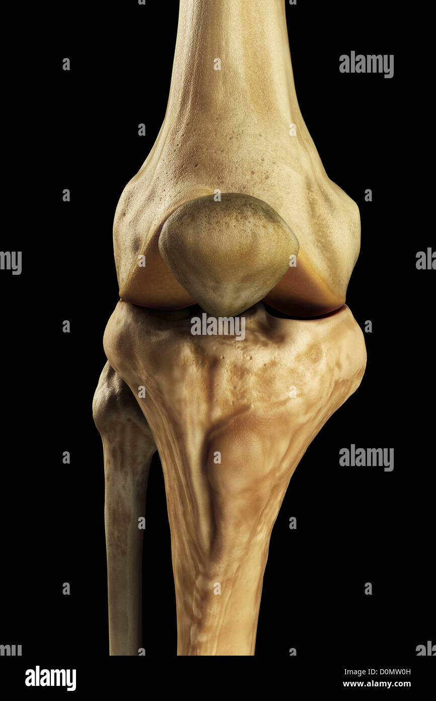 Model Showing The Human Knee Joint And Its Connecting Bones Stock