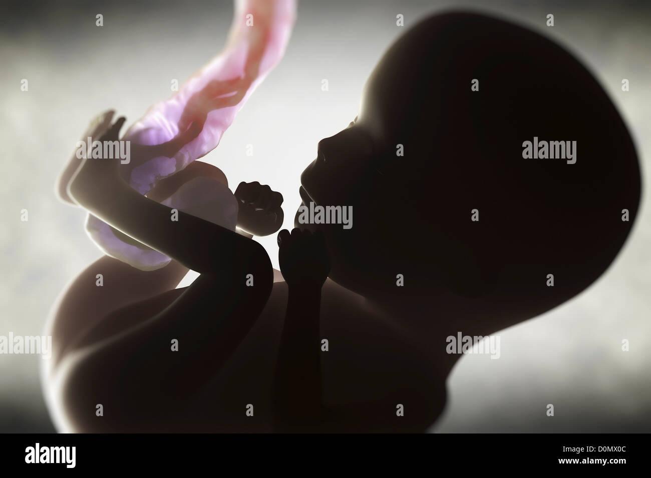 Digital Illustration of a fetus (Week 15) growing inside the uterus. Stock Photo