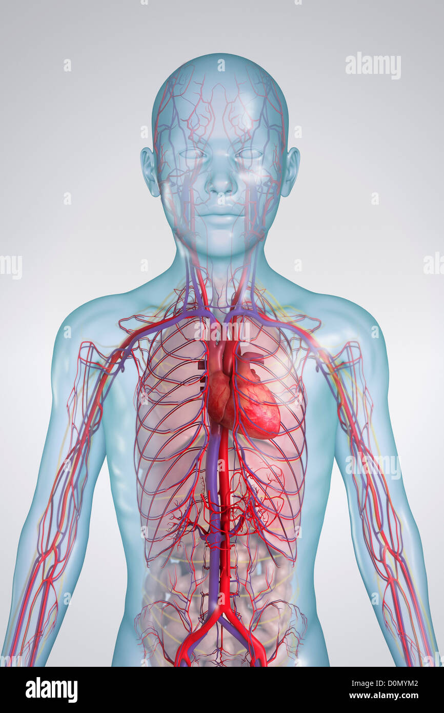 Anatomical Model Of A Child Showing The Cardiovascular System Stock